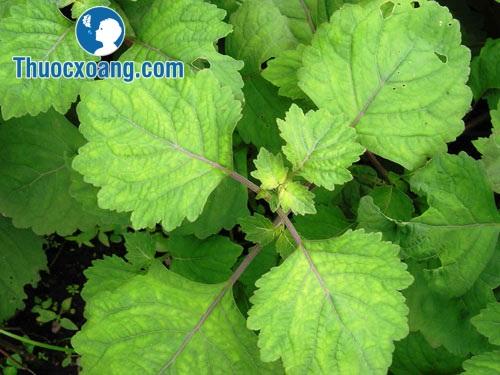 Cây hoắc hương hỗ trợ điều trị viêm xoang
