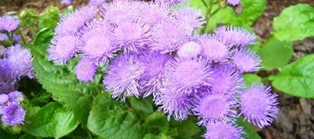 Chữa viêm xoang bằng hoa ngũ sắc (cây cứt lợn)